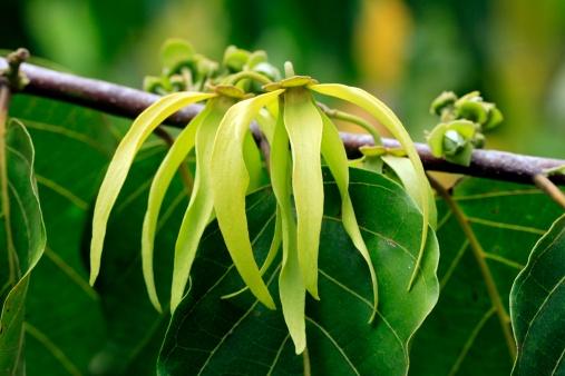 Ylang-Ylang-tree blossom